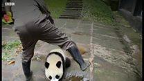 パンダの「ベビーシッター」 中国保護区の飼育員