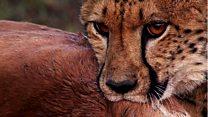دراسة تحذر من انقراض الفهود