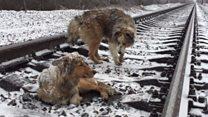 Історія собак, через яких мчали поїзди, завершилась