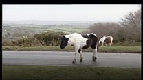Moor speed limit considered to save livestock