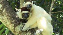 Чому лемурам Мадагаскару загрожує вимирання?