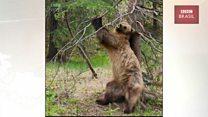 O desengonçado 'baile funk' dos ursos no Canadá