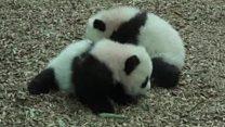 Walkies for panda cubs