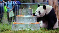 World's oldest male panda dies aged 31