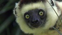 Aprende inglés: los peligros que acechan al animal más emblemático de Madagascar