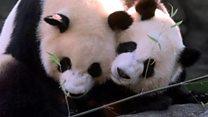 Атланта зоопаркынын панда мамалактары