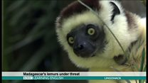 Madagascar's lemurs under threat