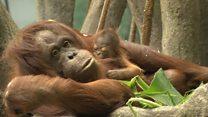 У Чикаго дитинча орангутана дебютувало у зоопарку
