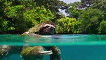 Preguiça atravessa mangue a nado 'em busca do amor'
