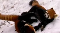 Red panda cubs frolic in the snow