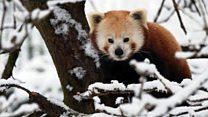 Детеныши красной панды играют в снегу