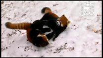 Qırmızı panda balaları zooparkda oynaşır