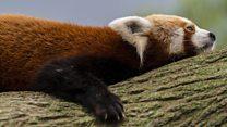 Kızıl pandaların kar keyfi