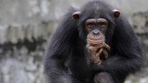 Шимпанзе добывают воду, используя ветку