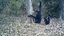 Cientistas registram imagens inéditas de chimpanzés produzindo e usando ferramentas para beber água