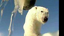 ماذا ترى الدببة القطبية؟