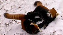 Aprende inglés: Los cachorros de panda rojo que juegan en el zoológico de Cincinnati