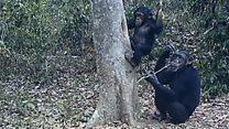 Шимпанзе п'ють  воду з дерева за допомогою гілок