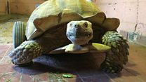Injured tortoise fitted with wheels