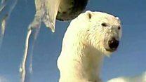Câmera em colar de urso polar dará pistas de como aquecimento está mudando seu cotidiano