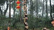 Pandas pose for New Year photos
