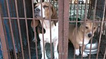 Dogs rescued from meat farm on way to UK