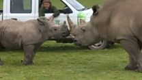 Baby rhino reunited with dad