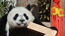 Ochos simpáticos cachorros de panda gigante dan la  bienvenida al Año Nuevo chino