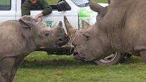 أنثى وحيد القرن تتعرف على أبيها لأول مرة!