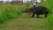 Giant alligator spotted in Florida