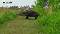 美国巨鳄在草地中从容漫步