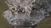 Во Флориде обнаружен гигантский аллигатор