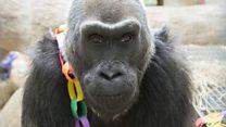 'Gorila tertua di dunia' mati di usia 60 tahun
