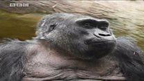 Энг қари горилла
