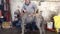 Big dog weighed-in on scrapyard scales