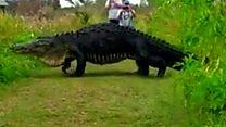 بالفيديو: تمساح عملاق بطول 5 أمتار يظهر في فلوريدا