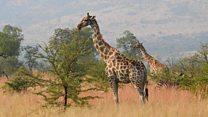 Girafas caminham para a extinção