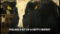 Welsh cows to wear pedometers