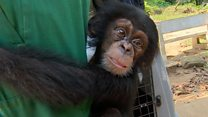Chimp trade: Rescued ape in new home