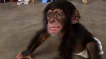 Chimps for sale: Undercover report in full