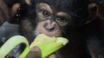 Baby chimp rescued from traffickers' ring