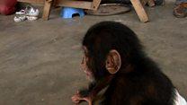ချင်ပန်ဇီအပါအဝင် မျောက်မျိုးနွယ်တွေရဲ့ ၆၀ ရာခိုင်နှုန်းလောက်ဟာ မျိုးတုန်းပျောက်ကွယ်မယ့် အန္တရာယ်နဲ့ ရင်ဆိုင်နေရ