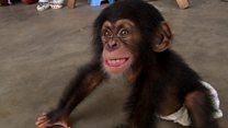 赤ちゃんチンパンジー、親を殺してペットに 西アフリカ密売組織