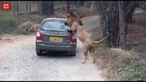 जब कार पर झपटा शेर