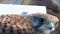 Kestrel befriends M5 traffic camera