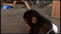 Расследование Би-би-си: подпольная торговля детенышами шимпанзе