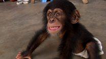 Розслідування BBC: чому сиротіють шимпанзе?