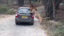 جب شیر گاڑی پر جھپٹ پڑا