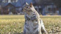Birth control measures for grey squirrels