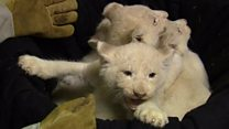 White lion cubs make first appearance